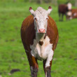 Cow on grass - Stock Photo