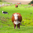 Cow on grass — Stock Photo #6561737