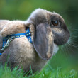 Rabit pet — Stock Photo #6561766