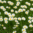 Lawn flowers — Stock Photo #6562241