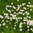 Lawn flowers — Stock Photo