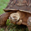 Huge turtle - Stock Photo