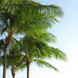 Stock Photo: Tropical palm