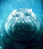 Hippopotamus sleeping under water — Stock Photo