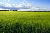 Buğday alanı — Stok fotoğraf