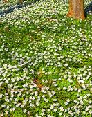 Springflowers — Stock Photo