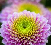 Moje kwiaty ogrodowe — Zdjęcie stockowe