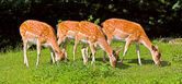 Deerss on a row — Stock Photo