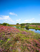Heather landscape — Photo