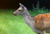 Wild beautiful doe — Stock Photo