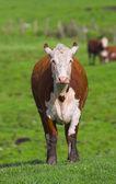 La vache sur l'herbe — Photo