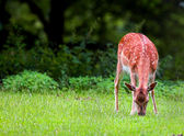 Deer — Foto Stock