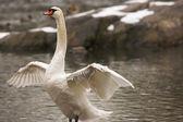 Sunset swan — Stock Photo