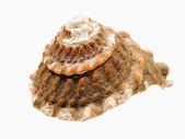 Sie shell — Stockfoto