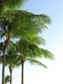 Tropikalne palmy — Zdjęcie stockowe