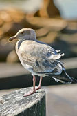 Sea gull — Stock Photo