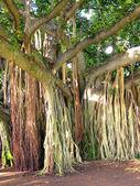 árbol de la selva — Foto de Stock