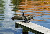 Secagem de asas de corvo — Fotografia Stock