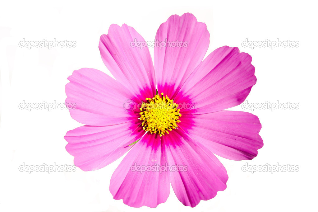 Pink Flower Cosmos Sensation isolated on white — Stock Photo #6459753