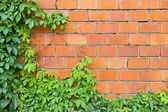 Brick wall and ivy — Stock Photo