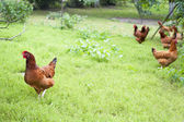 Hens outside — Stock Photo