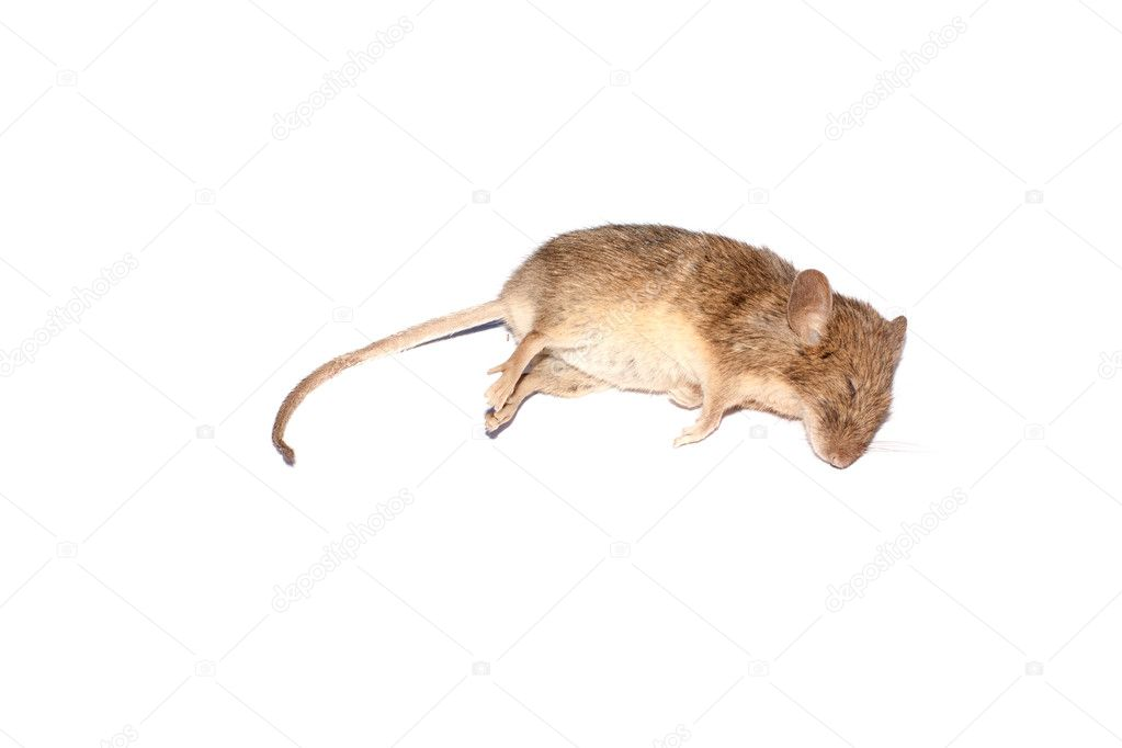 Dead mouse isolated over white background — Stock Photo #5572567
