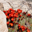 Claret Cup Cactus — Stock Photo