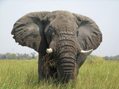 Okavango Delta Elephant — Stock Photo