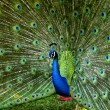Stock Photo: Peacock with Feathers Out
