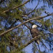Eagle in tree — Stock Photo