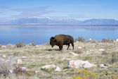 Buffalo in Antelope Island State Park — Stock Photo