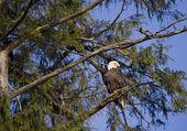 Dans l'arborescence d'aigle — Photo