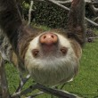 Royalty-Free Stock Photo: Two-Toed Sloth