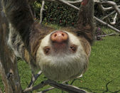 Two-Toed Sloth — Stock Photo