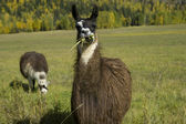 Two Llamas in a field — Stock Photo