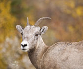 Rocky Mountain Bighorn Sheep — Stock Photo