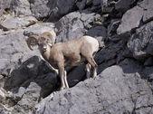 Borregos cimarrones montaña rocosa — Foto de Stock