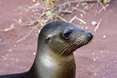 Sealion in the Galapagos Islands — Stock Photo