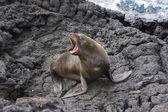 Hotel Sea lion szczekanie na Wyspach galapagos — Zdjęcie stockowe