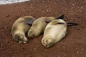 три беременные морские львы, ждут, чтобы родить — Стоковое фото