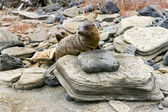 Sealion pups on the Galapagos Islands — Stock Photo