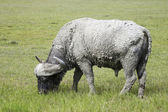 Cape Buffalo — Foto de Stock
