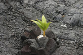 Coconut growing in lava rock — Stock Photo