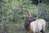 Elk antlers giving a side profile — Stock Photo