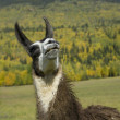 Llama looking up — Stock Photo
