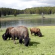 Bison or Buffalo in Yellowstone National Park — Stock Photo #6393244