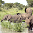Stock Photo: Young elephant eating in pond