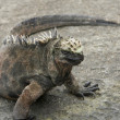 Marine Iguana on the Galapagos Islands — Foto Stock