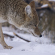 Coyote hunting for a mouse in Yellowstone National Park — Stock Photo