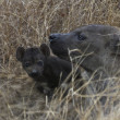 Hyena & pup in Kruger National Park South Africa — Stock Photo